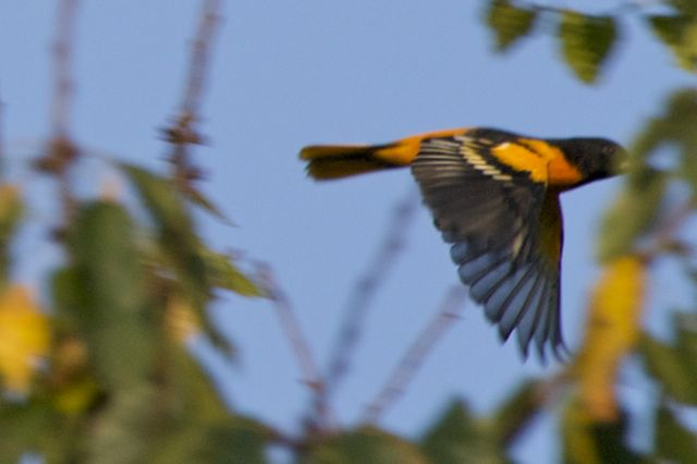 Baltimore Oriole sequence 4