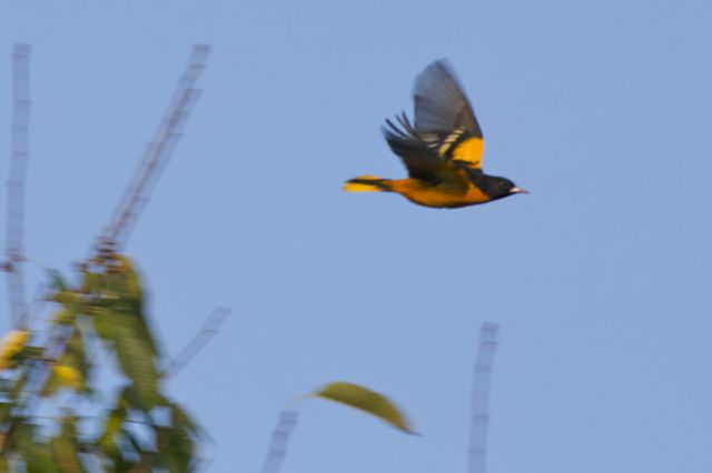 Baltimore Oriole sequence 5