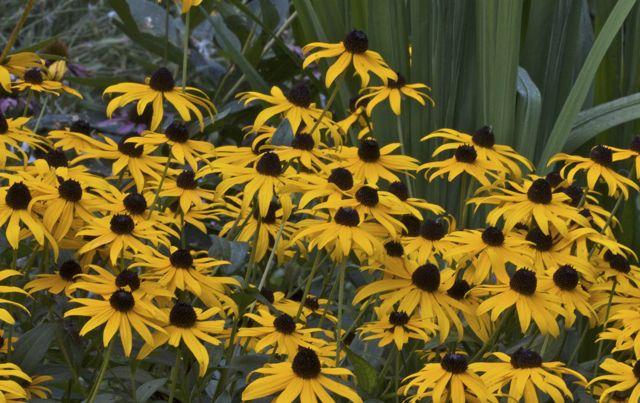 Black eyed Susans (Rudbeckia hirta)