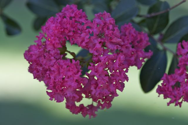 Crepe Myrtle (Lagerstroemia Indica)