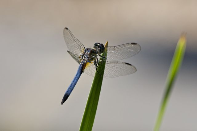 One of the many dragonflies at Long Hill.