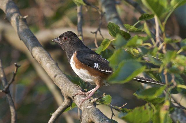 Eastern Towhee (Pipilo erythrophthalmus)