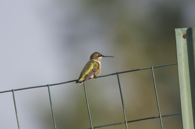 Ruby-throated Hummingbird (Archilochus colubris) on Fence