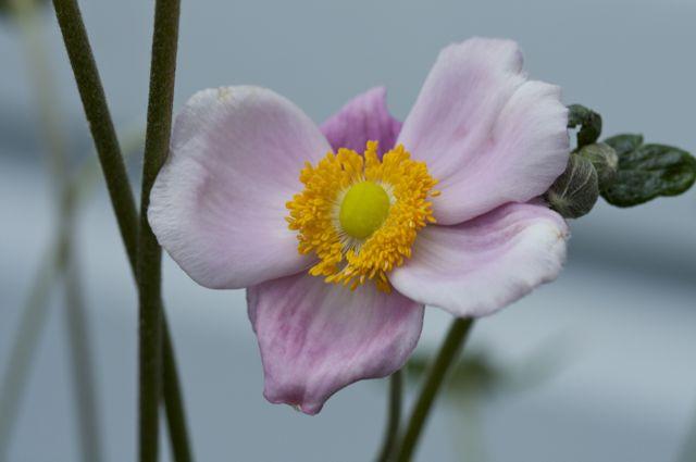 Japanese Anemone (Anemone hupehensis var japonica)
