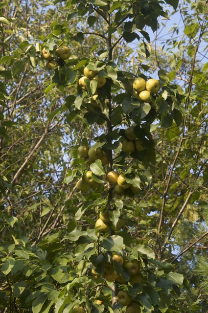 The Japanese Pear is a prolific bearer every year
