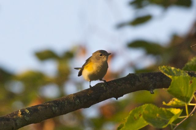 Yellow throated vireo fall - photo#34