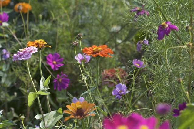 Zinnias and Cosmos in the cutting garden