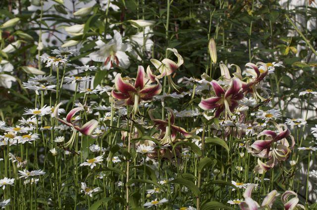 Scheherazade lilies in the perennial garden