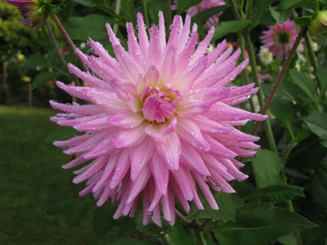 One of the Dahlias at Volunteer Park