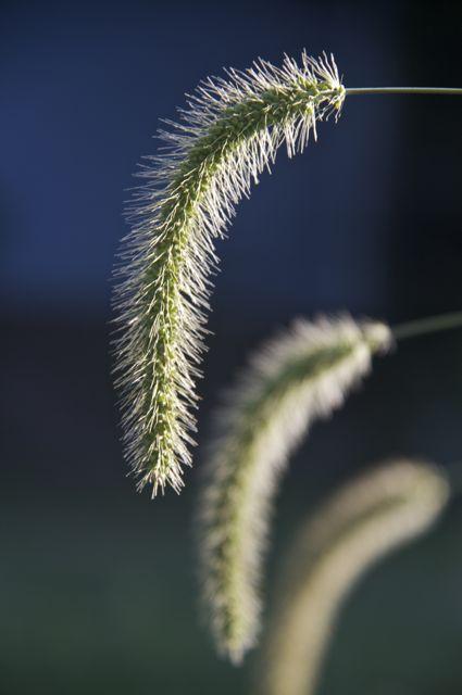 Green Foxtail (Setaria viridis)