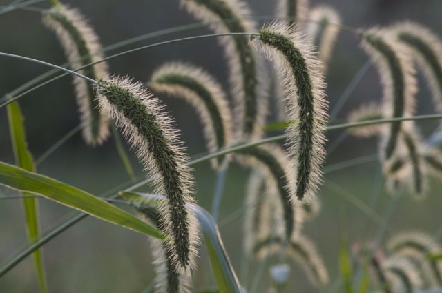Nature's Ornamental Grass