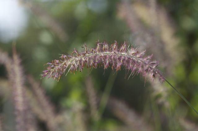 Pink Fountain Grass (Pennisetum orientale 'Karley Rose')