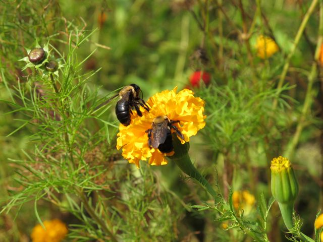 Bees on Marigold