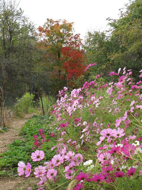 Cosmos and our resident Sugar Maple