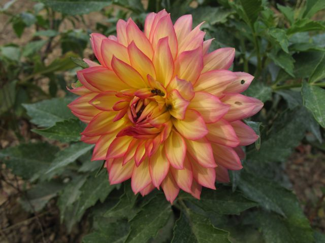 Dahlia (fuschia tinged yellow)