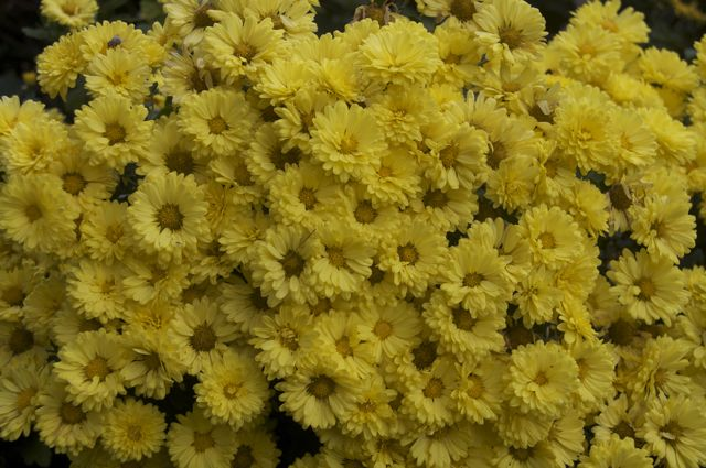Fall Chrysanthemum