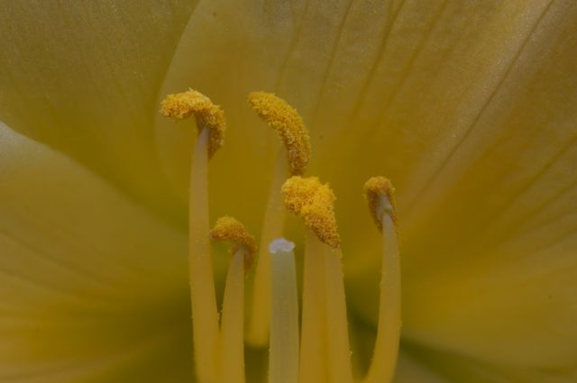 Stamens and Pistil on a Stella D'Oro Daylily