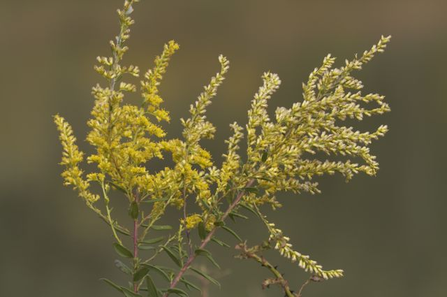 Goldenrod at Lilypons
