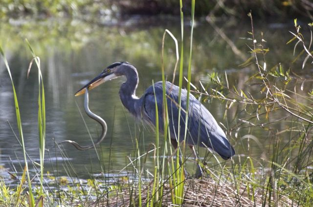 Heron eating snake 2