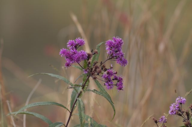 Ironweed (Vernonia noveboracensis)