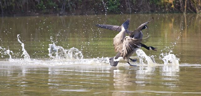 Landing Pad for the Canada Geese