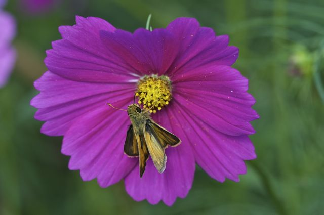 Some kind of Skipper on Cosmos