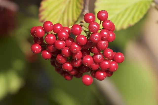 Viburnum wrightii