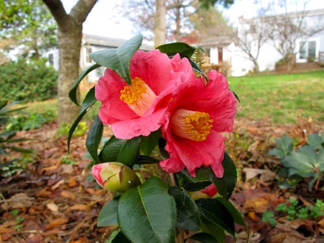 Camellia Japonica 'Spring Promise'