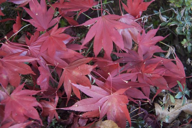 Leaves from red Japanese maple