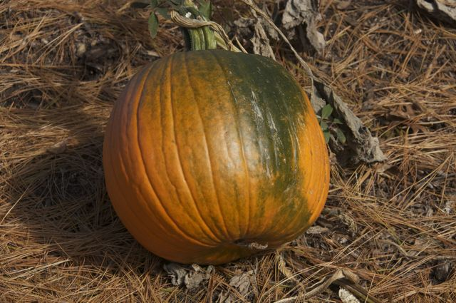 Last pumpkin from volunteer plant