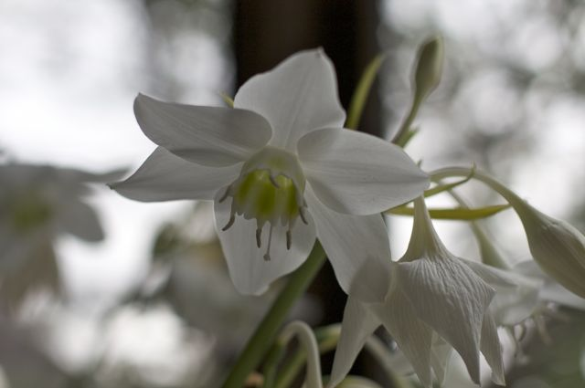 Amazon lily (Eucharis x grandiflora) from below