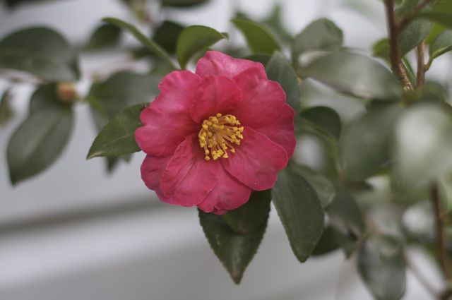 Red-flowered Camellia sansanqua