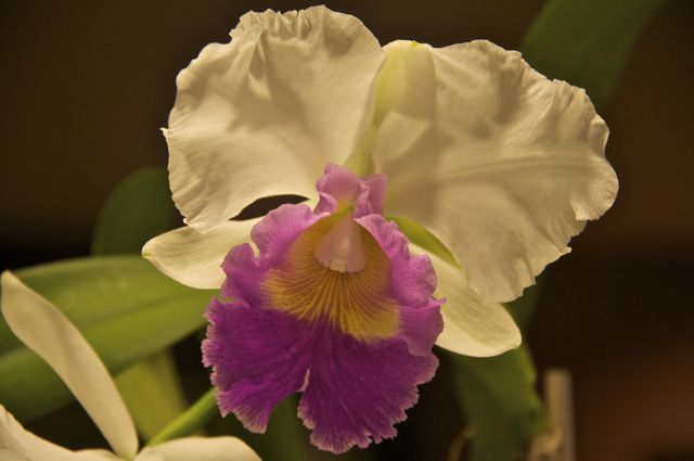 Cattleya orchid in the kitchen