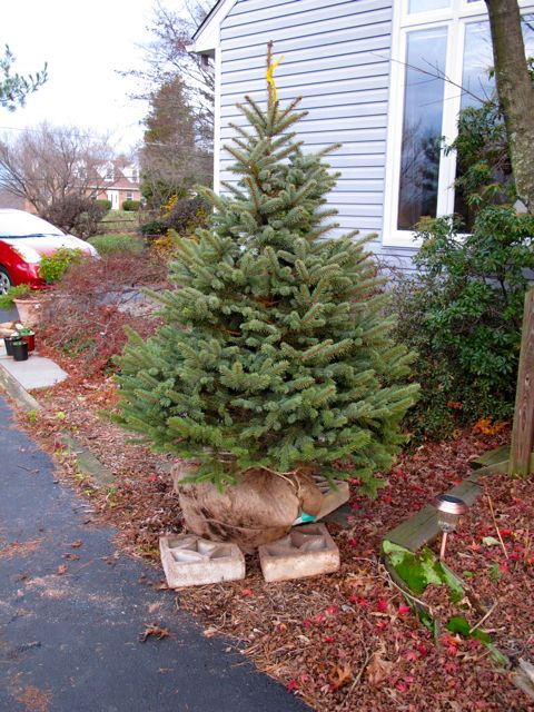 Colorado Blue Spruce for Christmas 2009
