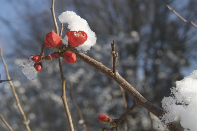 Flowering quince in the snow