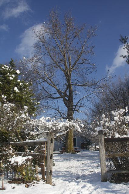 Tulip Poplar in the snow