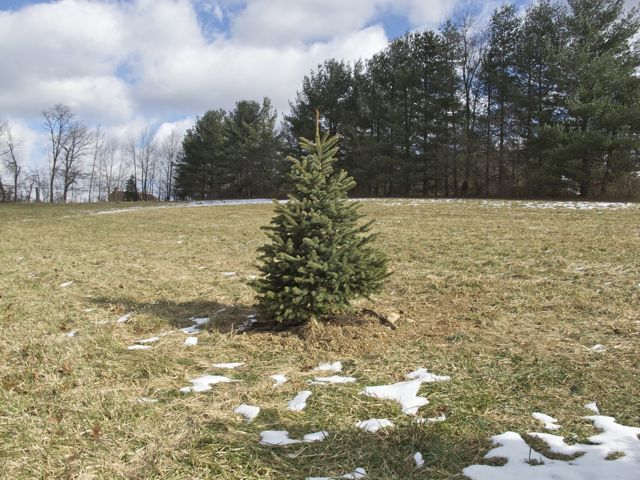 2009 Christmas tree planted