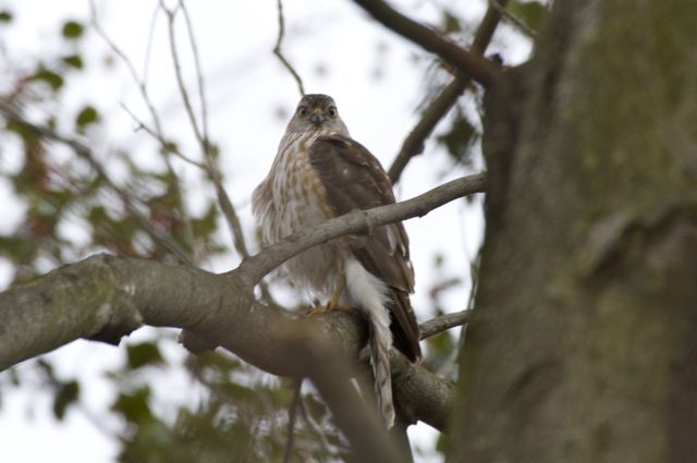 Cooper's Hawk looking back