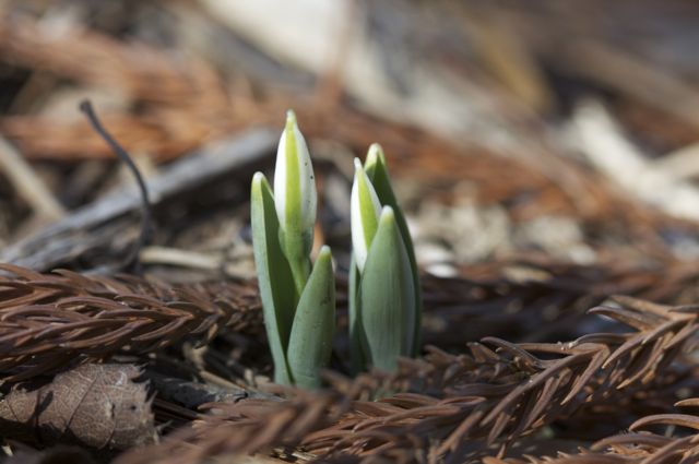 More Snowdrops on the way