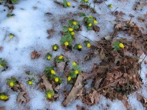 Winter Aconite (Eranthis hyemalis) closed up for cold weather