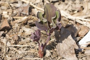 Molly the Witch emerging (Paeonia mlokosewitschii)