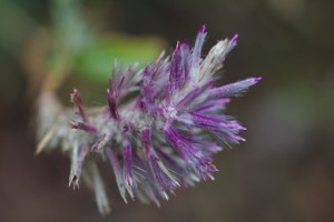 Ptilotus &#039;Platinum Wallaby&#039;