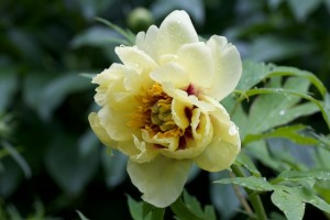 Last flower from the Yellow Tree Peony