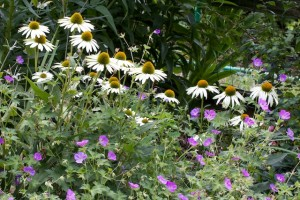 Echinacea purpea 'White Swan' and Geranium 'Rozanne'
