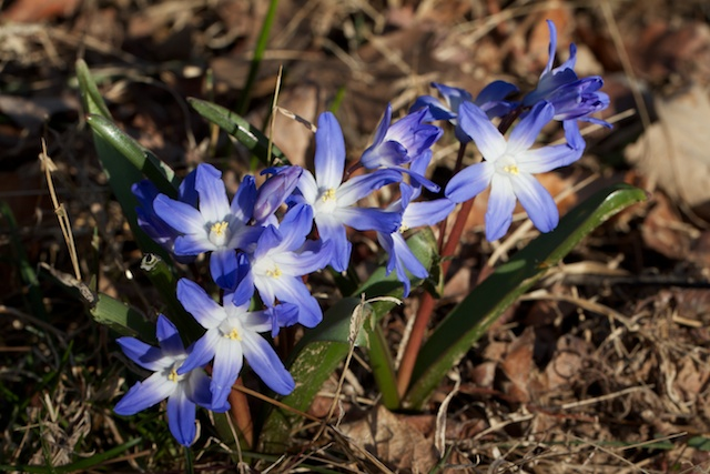 Glory of the snow (Chionodoxa)