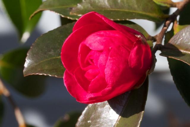 Red Camellia sasanqua bud