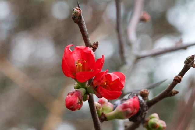 Red Flowering Quince (Chaemoneles)