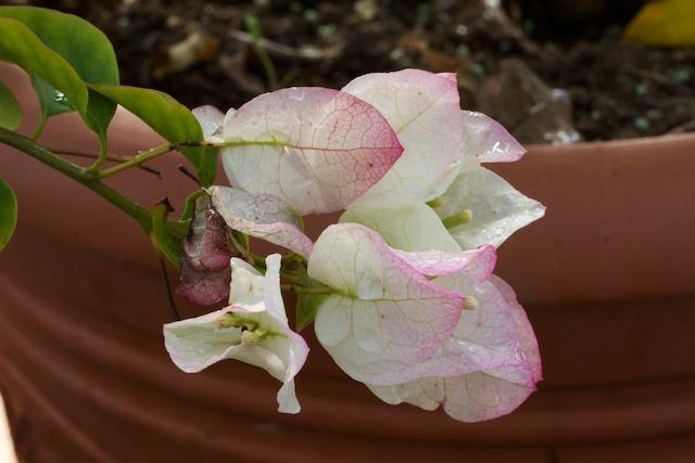 White-Pink Bougainvillea