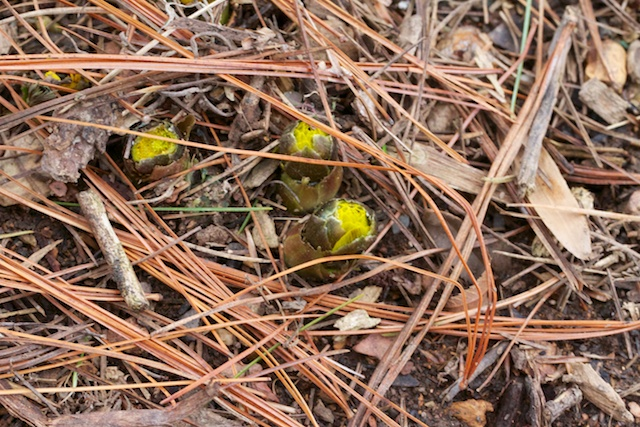 Adonis amurensis 'Fukujukai' poking through