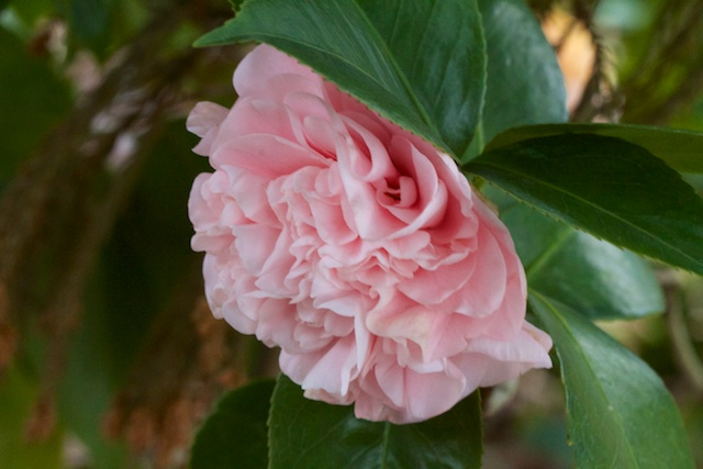Double-Pink Camellia japonica